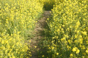 【福岡の映像制作向けロケ地】なの花の道 – 春らしい風景の撮影