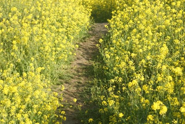 なの花の道